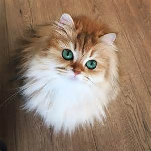 world s cat meet smoothie the world s most photogenic cat