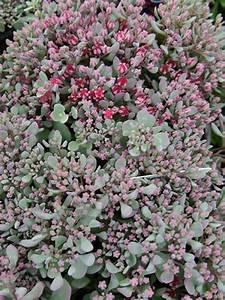 Glanzmispel Rote Blätter Fallen Ab : sedum cauticola 39 lidakense 39 fetthenne g nstig bestellen ~ Lizthompson.info Haus und Dekorationen