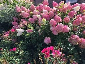 Hortensie Wims Red : rispenhortensie vanille fraise hydrangea paniculata ~ Michelbontemps.com Haus und Dekorationen