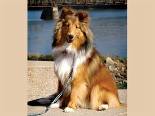 shetland sheepdog shed shetland sheepdog information and facts breeds