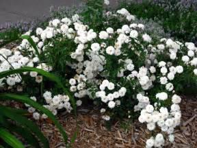 White Rose Bush Varieties