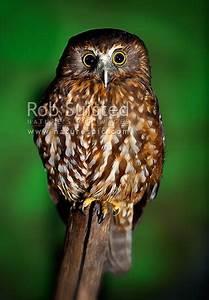 Morepork, NZ native bird, Ruru (Ninox novaeseelandiae ...