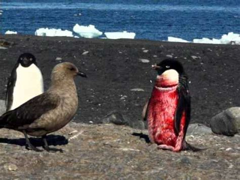 adelie penguin attacked   leopard seal tested