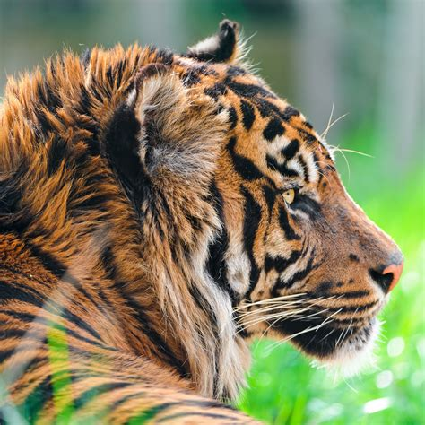 wallpaper sumatran tiger hd  animals