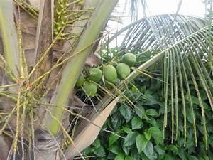 Hillbilly Garden- The coconut palm tree – Mirador San Jose ...
