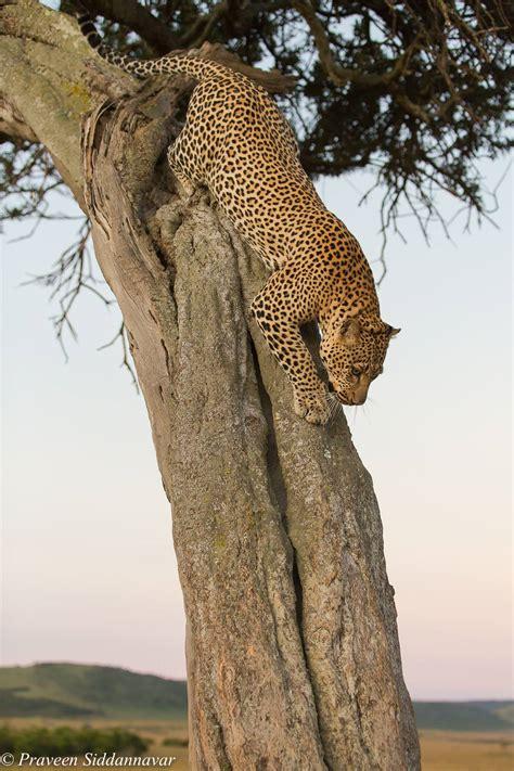 jaguar  leopard wilderhood recitals