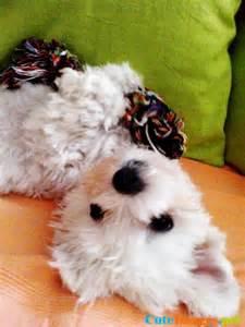 Toy Westie Puppy Little