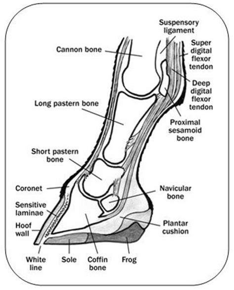 Sprunggelenk Pferd Anatomie