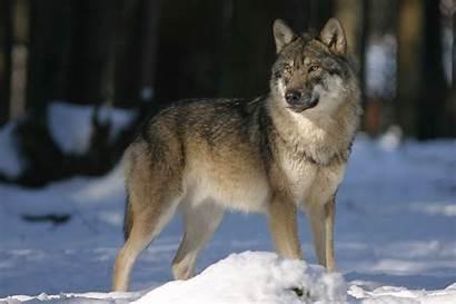 Wolf Ranger Junior