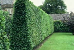 privacy plants 10 privacy plants for screening your yard in style