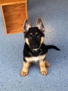 How much does a german shepherd puppy cost annie many for How much is a german shepherd dog