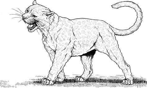 40 Dibujos De Pumas Para Colorear
