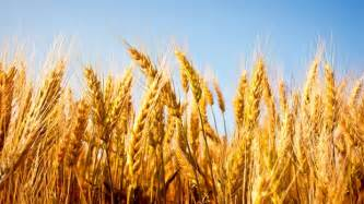What Does Wheat Look Like