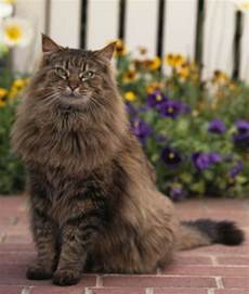 coon cats 10 facts on maine coon cats pawnation maine coon cats