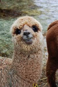 320 best Alpacas & Llamas images on Pinterest   Happy ...