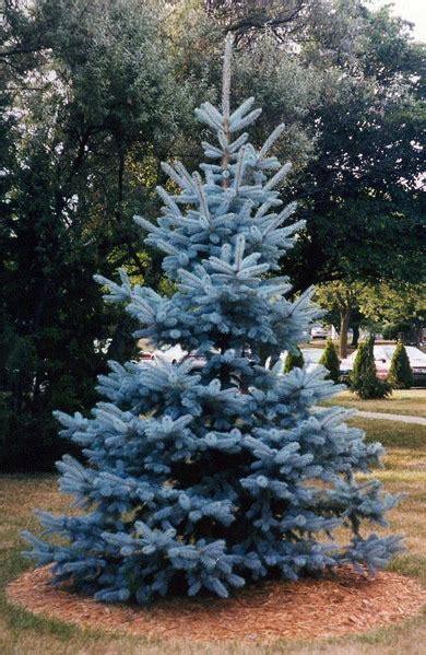 blue spruce blue spruce laidback gardener