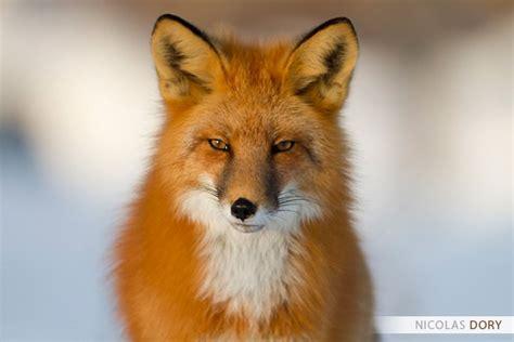 articles de opiece boahancok tagges renard  panda roux