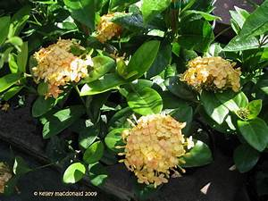 PlantFiles Pictures: Chinese Ixora 'Singapore Yellow ...