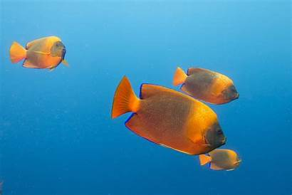 Fish Saltwater Holacanthus Exotic Rare Clarion Angel
