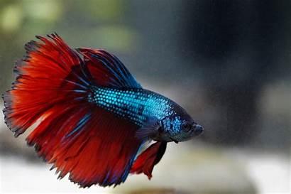 Betta Beta Fish Peixe Pez Fighting Luchador