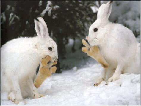 mettre les favoris sur le bureau fond d 39 écran de lapin lapins des neiges