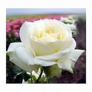Ilse Krohn Superior : vrtnica plezalka ilse krohn superior kakovostne sadike vzgojene v lastni vrtnariji ~ Eleganceandgraceweddings.com Haus und Dekorationen