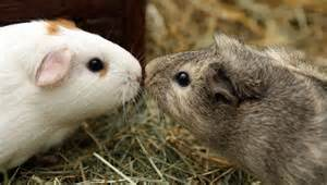 Facts About Guinea Pigs