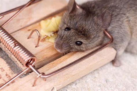 Mäuse Im Haus by M 228 Use Im Haus Bek 228 Mpfen