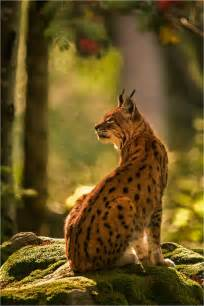 Wild Animal Lynx Cat