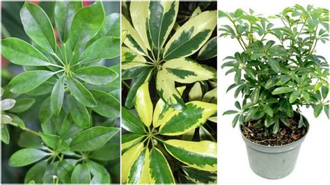 how to decorate a small bathroom umbrella tree 101 care and growth of schefflera