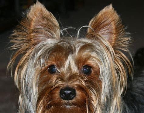 Miniature  Ee  Yorkshire Terrier Ee   Readers Yorkie P Os