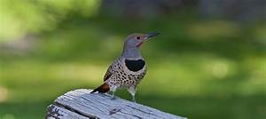 The Northern Flicker is one of the hundreds of birds you ...