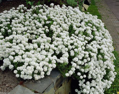 perrenial ground cover candytuft seeds hardy perennial ground cover ebay