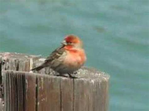 house finch song house finch singing on a pier