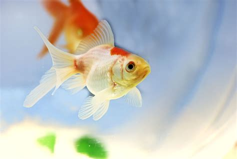 marvelously interesting facts  goldfish
