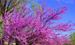 Spring Trees with Purple Flowers