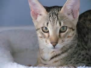 savanah cats f6 sbt izzy dreamweavercatz agato savannahs agato