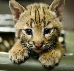Cute Baby Bobcat Kittens