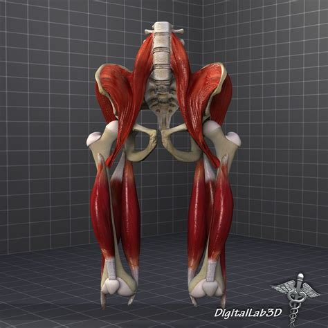 Translate the text about bones of a human body into russian in writing. Pelvis Muscle Bone Anatomy 3D Model MAX OBJ 3DS FBX C4D LWO LW LWS   CGTrader.com