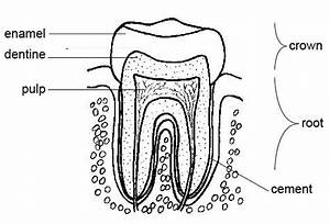 Tooth Anatomy Coloring Page