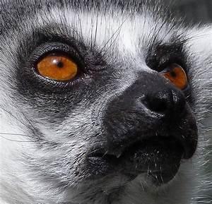 Lemur Eyes That Glow In The Dark Photograph