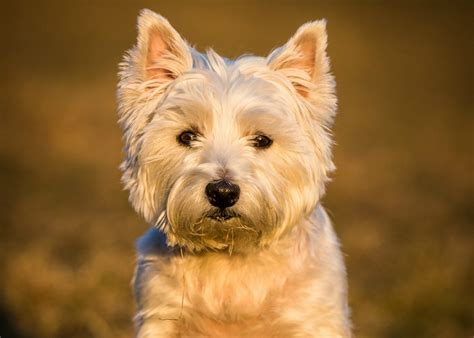 no shed dogs for adoption hypoallergenic small dogs for adoption breeds picture