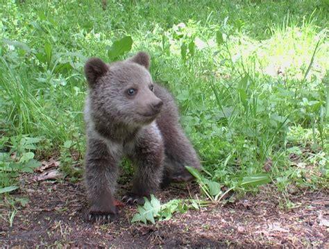brown bear ursus arctos linnaeus