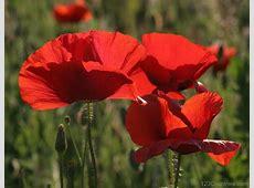 National Flower Of Poland Corn Poppy 123Countriescom