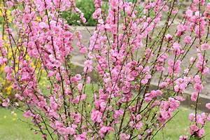 Stauden Pfingstrosen Schneiden : mandelbaum schneiden so k rzen sie den mandelstrauch richtig ~ Eleganceandgraceweddings.com Haus und Dekorationen