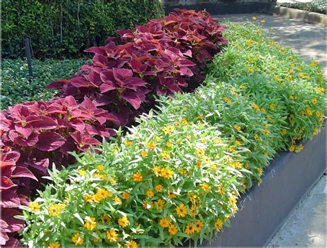 best plants for sun and shade burgandy sun coleus with orange profusion zinnia precision landscape