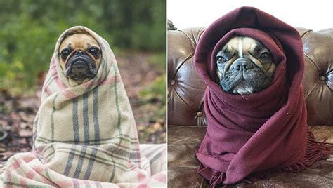 dogs wrapped  blankets  adorable burritos