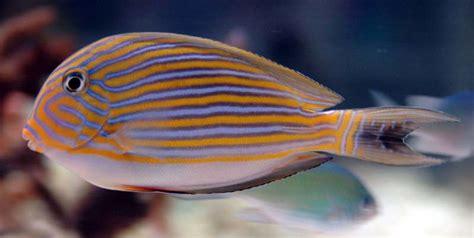 Hambalid's Saltwater Fish Photo (id 2987)