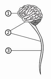 medula espinal wikipedia la enciclopedia libre With lcrschematicpng