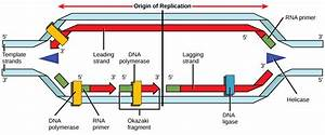 The Diagram Below Shows The Process Of Dna
